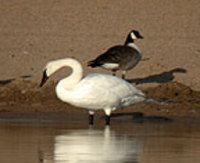 Goose_swan